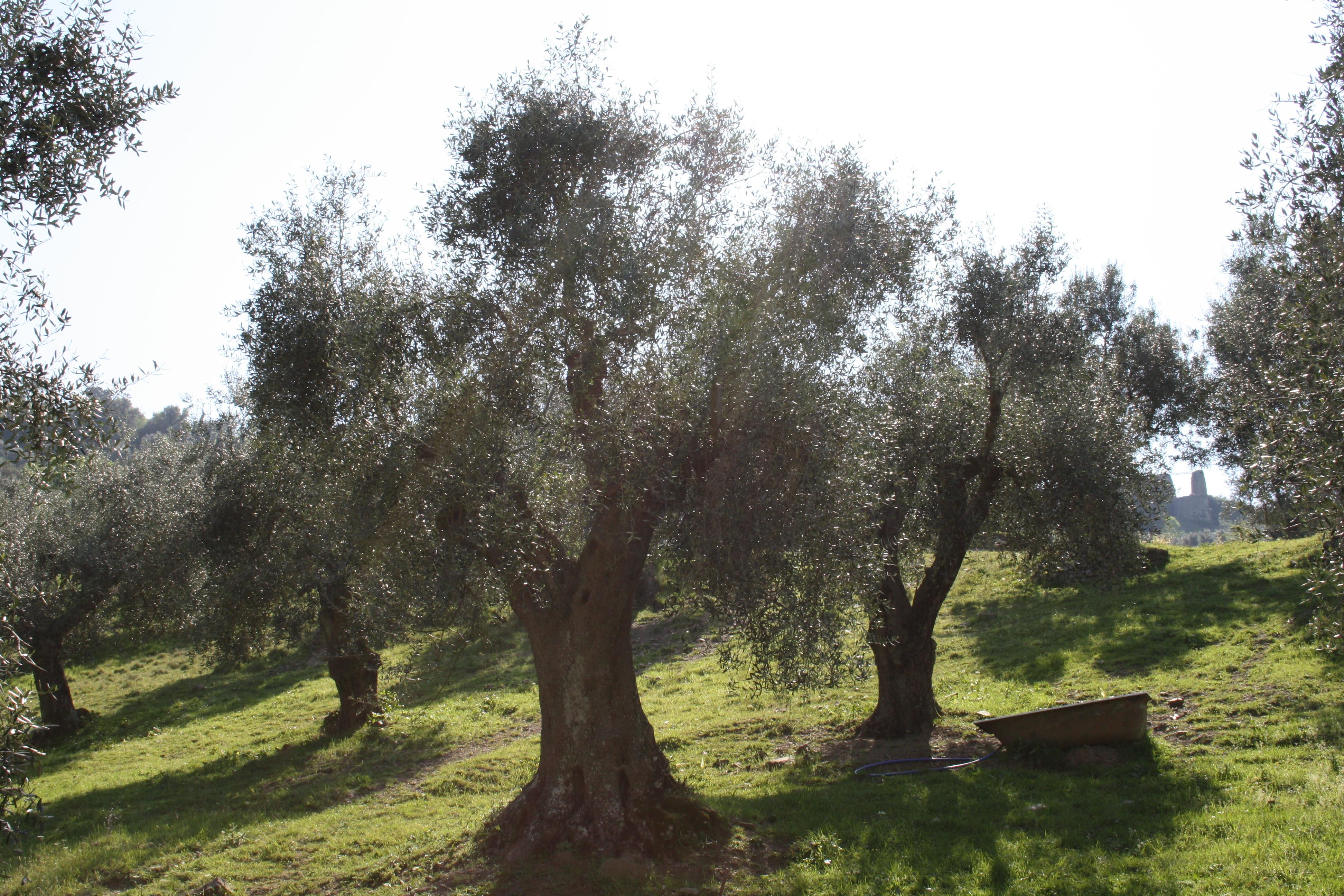 Piante Di Olivo : In arrivo i mesi della processionaria del pino servizio