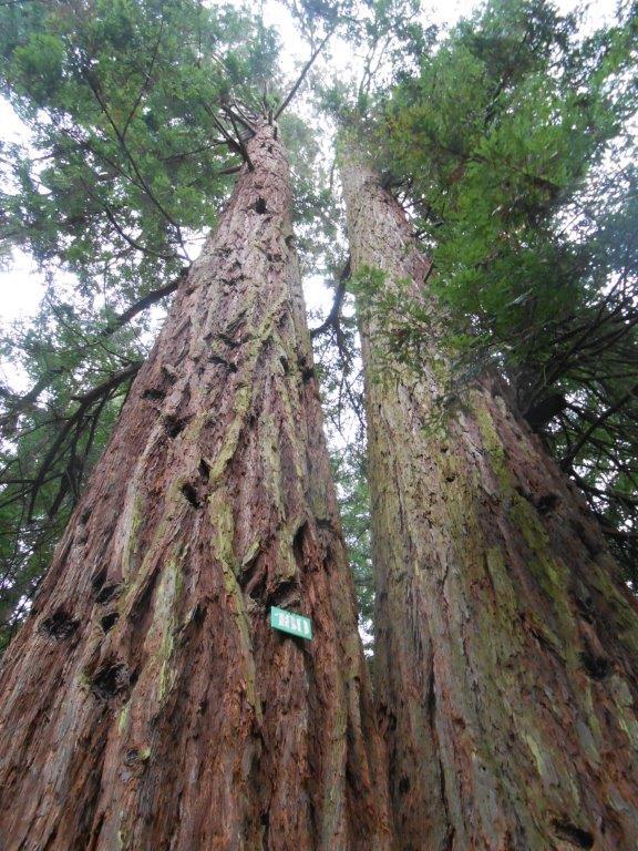 Sequoie gemelle a Reggello